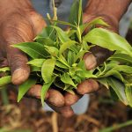 Khat leaves from the Mount Kenya region. (Pic: Flickr/International Centre for Tropical Agriculture)