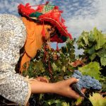 Moroccan women pick grapes on September 14 2009 at the Ferme Rouge domain in Had Brachoua. (AFP)