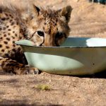 A cheetah eats at The Cheetah Conservation Fund centre in Otjiwarongo, Namibia on August 13 2013. (Pic: AFP)