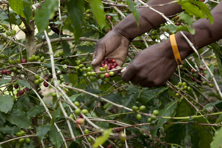 A woman harvests ripe coffee berries. [Pic: Reuters]