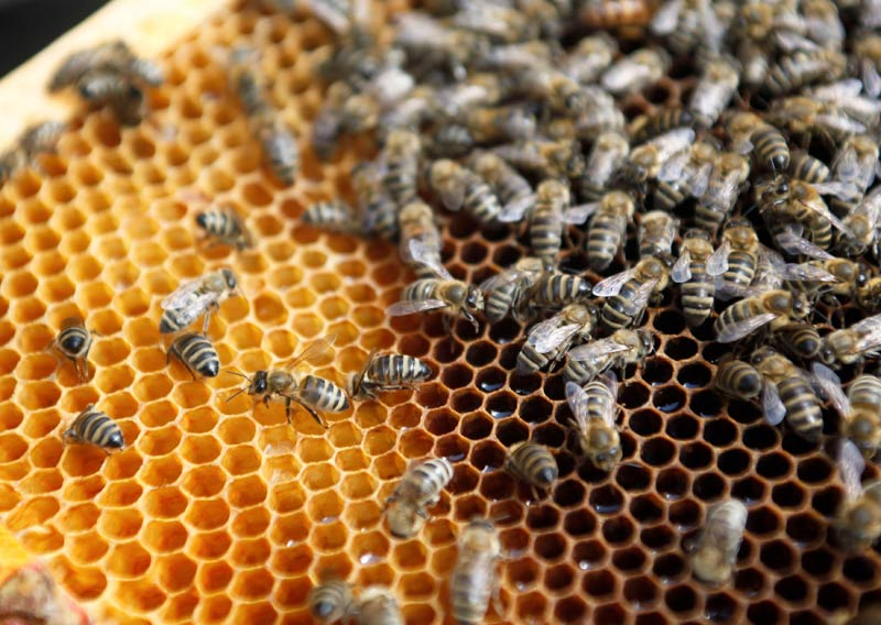 picture How to Harvest a Bee Hive from the Wilderness