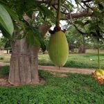 A fruit from a Boabab tree in the village of Thiawe Thiawe in Senegal. (Pic: AFP)