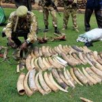 Kenya Wildlife Service (KWS) officials display recovered elephants tusks and illegally held firearms taken from poachers. (Pic: Reuters)
