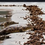 Crocodiles feed on vegetarian pellets inside a pen at Nyanyana Crocodile Farm in Kariba. (Pic: Reuters)