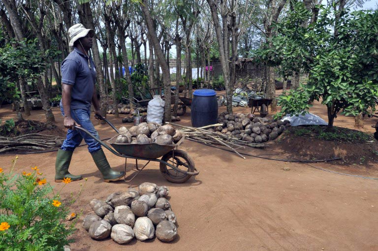 A man wheels coconuts in a wheelbarrow at the Centre Songhai. (Pic: AFP)