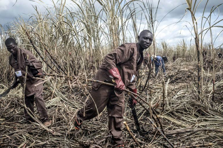 Workers collect sugar cane at the largest sugar factory in the Central African Republic in Ngakobo, 450km east of the capital Bangui. (Pic: AFP)