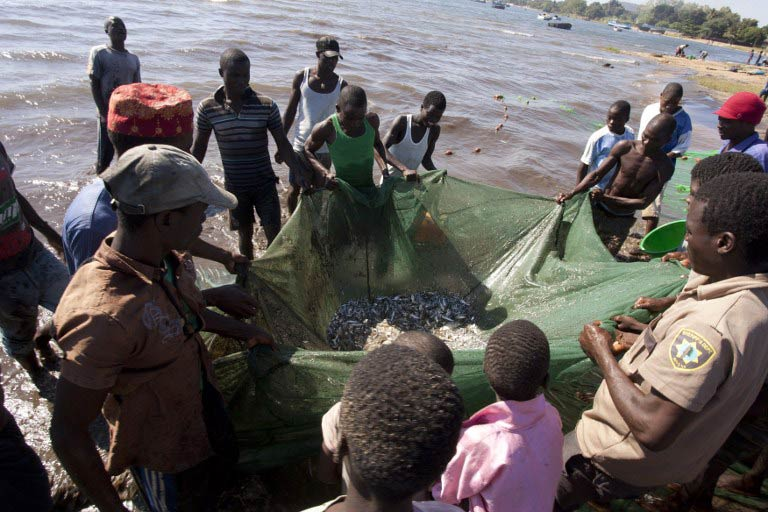 Malawian fishermen pulling up fish in their nets on the shores of Lake Malawi. (Pic: AFP)