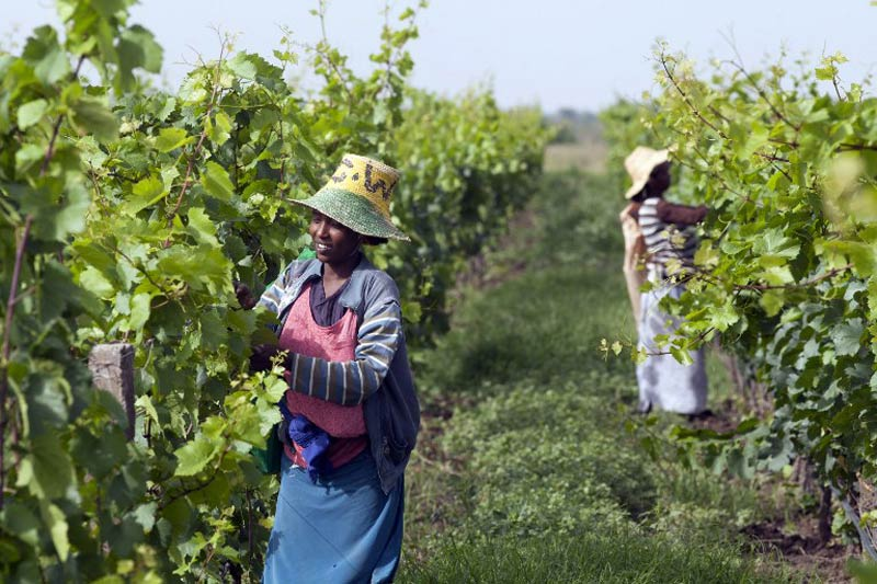 Women pick grapes at the vineyard of the Castel winery outside the town of Ziway, central Ethiopia. (Pic: AFP)