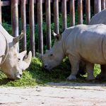 A picture taken on October 2004 shows a northern white rhinoceros named Fatu (C) at the Dvur Kralove zoo, east Bohemia. (Pic: AFP)
