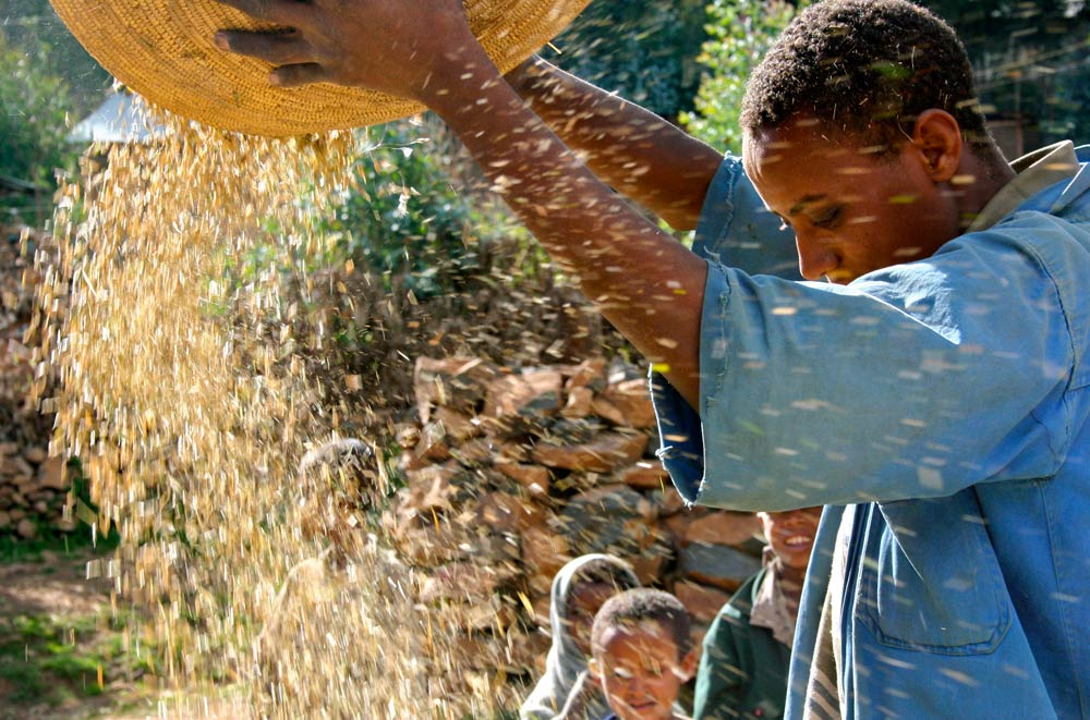 Ethiopian farmer Eshete Eneyew threshes maize in Abay, north of Addis Ababa. (Pic: Reuters)