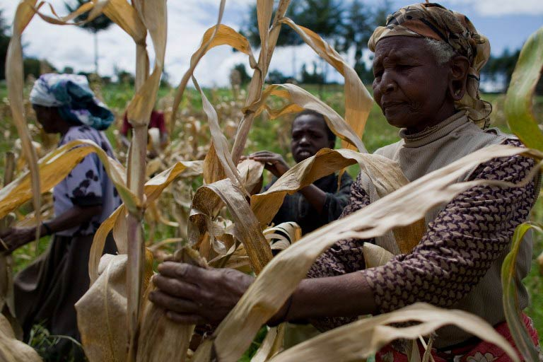 Kenyan farmers pick through their maize crop in a field in the village of Kapsimatwa near the Rift Valley town of Bomet. (Pic: AFP)
