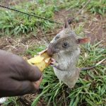 This picture taken in March 2005 shows one of nine rats who helped Mozambique sniff out landmines. (Pic: AFP)