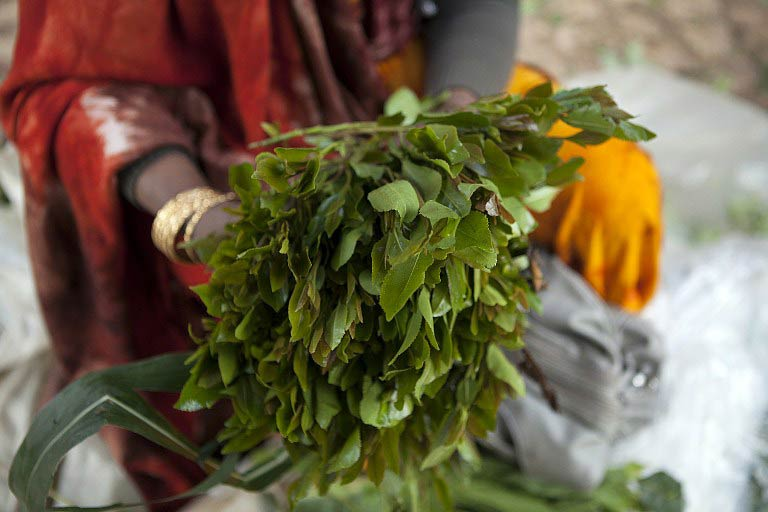 Khat's psychoactive ingredients -- cathinone and cathine -- are similar to amphetamines but weaker, and can help chewers stay awake and talkative. (Pic: AFP)