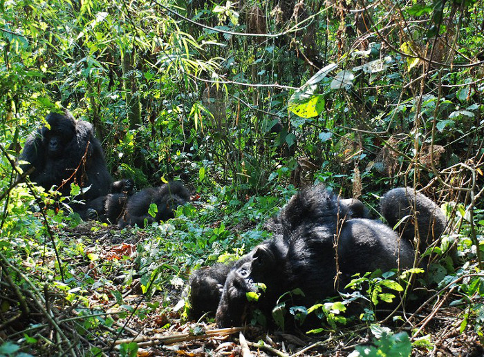Mountain gorillas in the Virunga National Park, eastern Democratic Republic of Congo, August 1, 2015. (AFP)