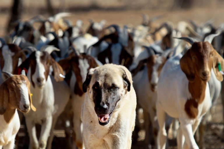 Anatolian Shepherd dog Bonzo leads a herd of goats on Retha Joubert's farm near near Gobabis, east of Windhoek. (Pic: AFP)